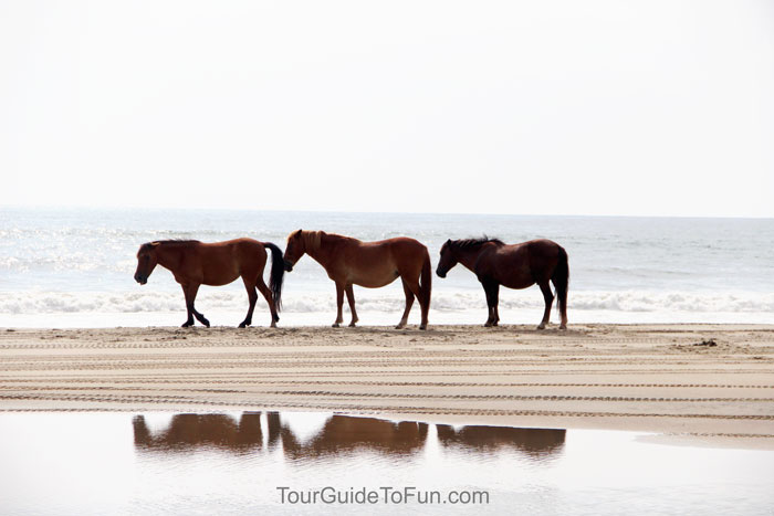 wild horses of corolla outer banks