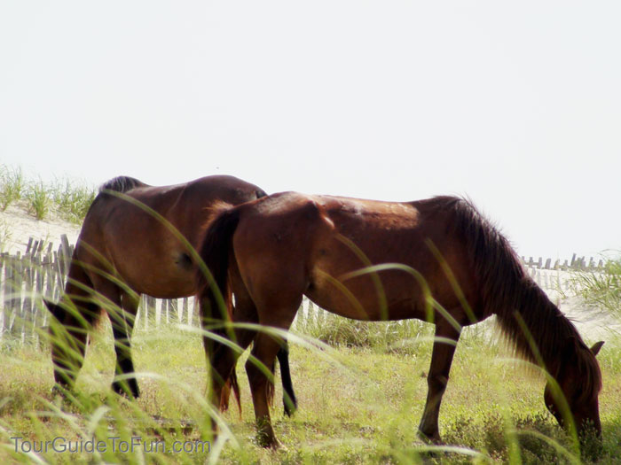 corolla wild horses outer banks north carolina
