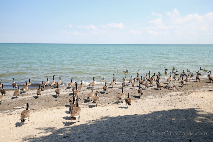canadian-geese-canada-goose